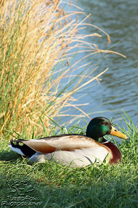 Le Quack