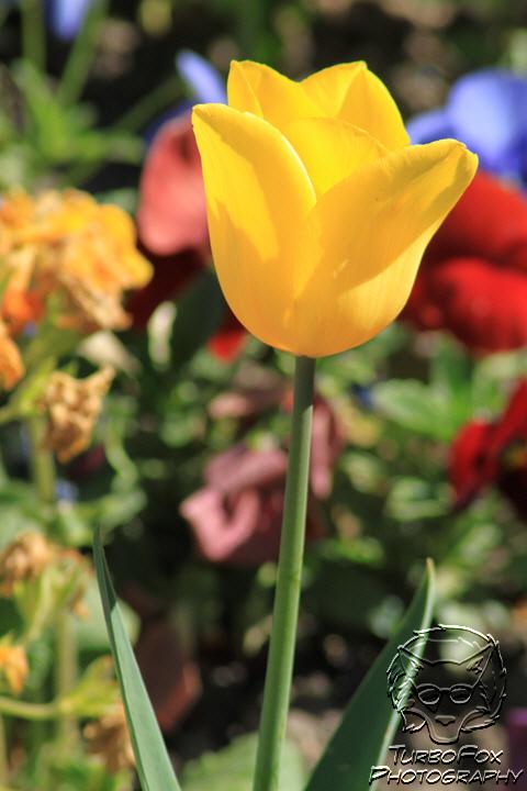 Tulipe de Paris